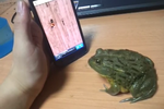 [Video] This Is What Happens When You Mess With An African Bullfrog While It's Playing A Game Of Ant Crusher