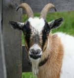 Solid Explorer 2.0 Comes With A Goat Mode Easter Egg
